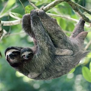 Mowgli sloth